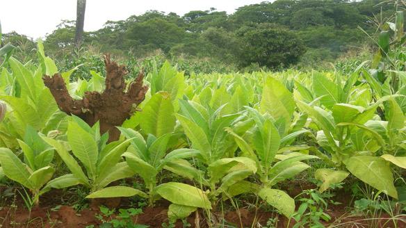 Tobacco in Malawi