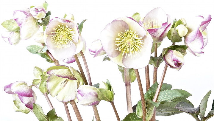 Helleborus hybridus 'Glenda's Gloss'