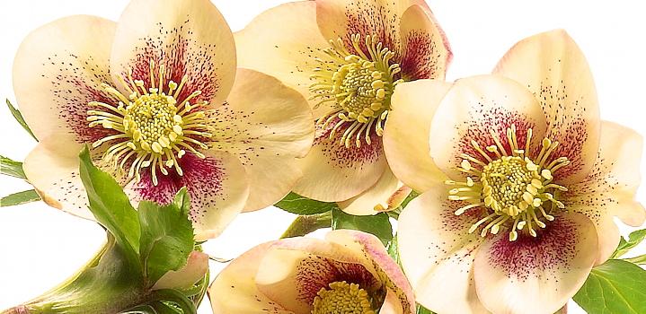 Helleborus orientalis 'Ashwood Fascination' ('Spot on Apricot') is precies dat; warm en voldoende zacht en romig om niet te overdrijven.