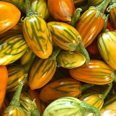 'Keizer Alexander' of Sikkim komkommer is een bewaarbare en sierlijkekomkommer met een prima smaak.