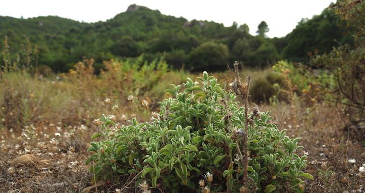 De Corsicaanse vorm van Cistus creticus heeft olie kleuren en bevat dus ook etherische olie.