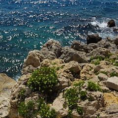 Crithmum maritima of zeevenkel groeit overal aan de kust tussen rotsen of in muurtjes. Als je zon droog en zonnig plekje in je tuin hebt kan ze daar ook overleven.