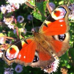 vlinders dagpauwoog