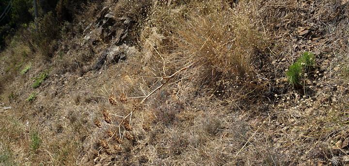 De dorre bloemstengel van Ferula communis in de berm.