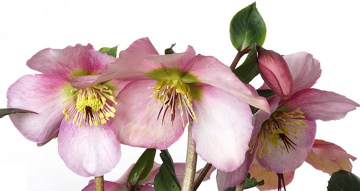 Helleborus 'Sensas' (niger subsp. macranthus x orientalis subsp. abchasicus)