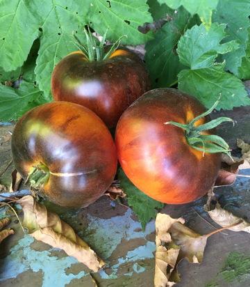 tomaat 'Blue Beauty'