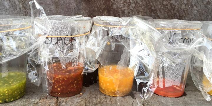 tomaten zaad laten we eerst gisten voor we het drogen
