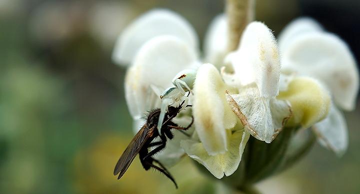 wtte lavendel met een honingbij